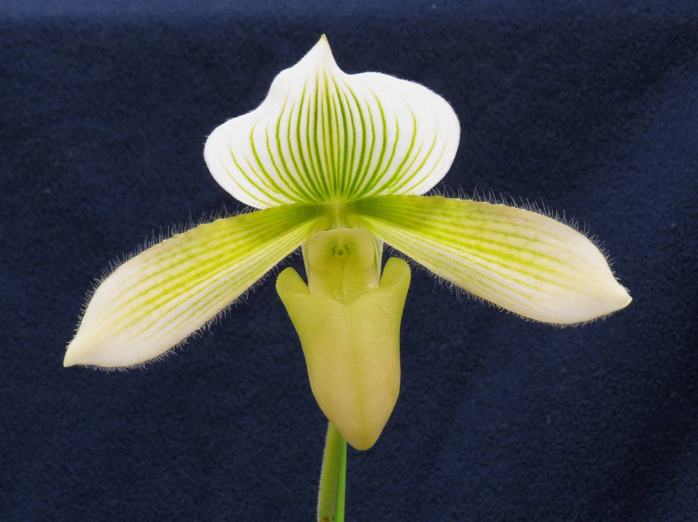 Voted BEST - Paphiopedilum (Paph) Cowichan Green 'Jenny' HCC/AOSGrown by: Svend Munkholm