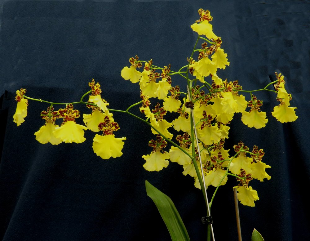 Voted BEST - Oncidium (Onc.) Jiuhbao GoldGrown by: Astrid Firley-Eaton