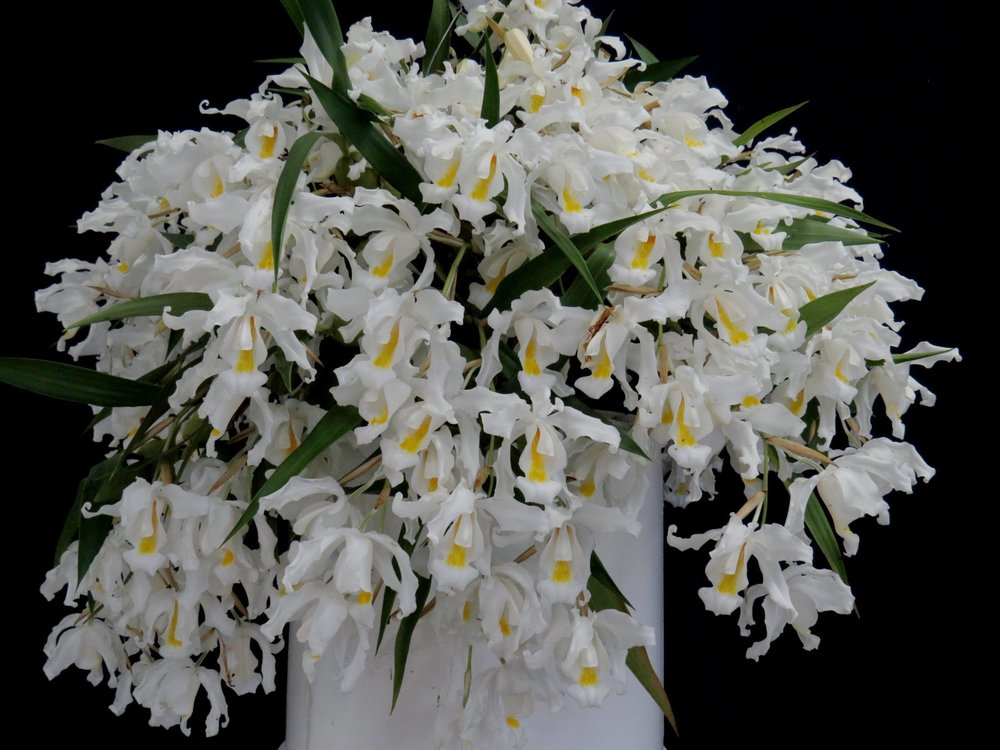 Voted BEST - Coelogyne (Col.) cristataGrown by: Jill Livesey