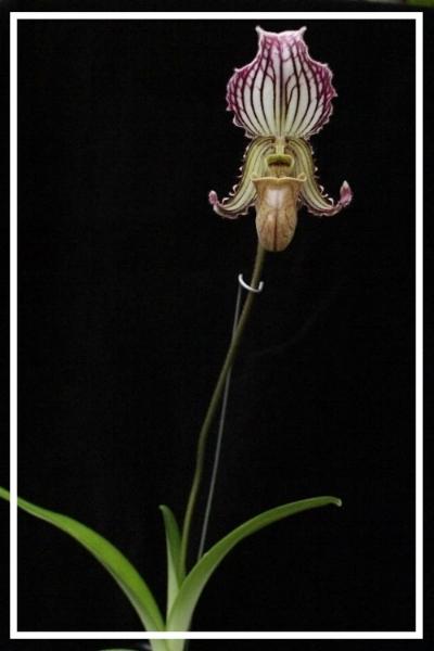 Paphiopedilum fairrieanum  Grown and Photographed by Sasha Kubicek