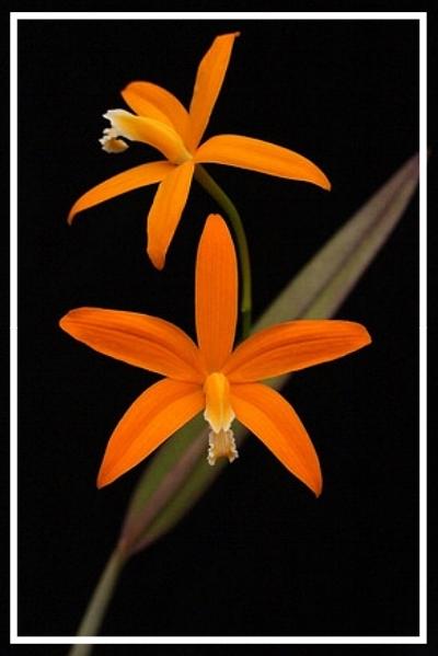 Laelia harpophylla      Grown and Photographed by Sasha Kubicek