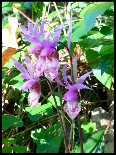 Calypso bulbosa var. occidentalis     Photo by: Melanie Norris