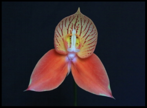 Disa .    Grown and Photographed by Alida Bower
