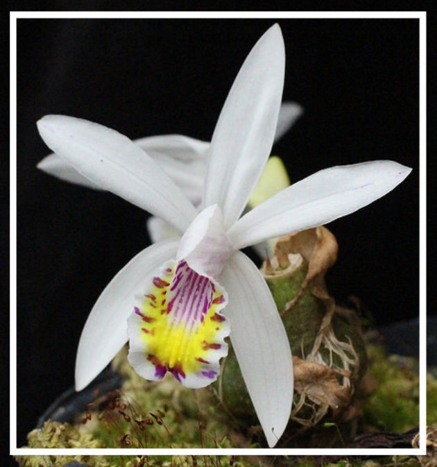 Pleione maculata  Grown and Photographed by Sasha Kubicek