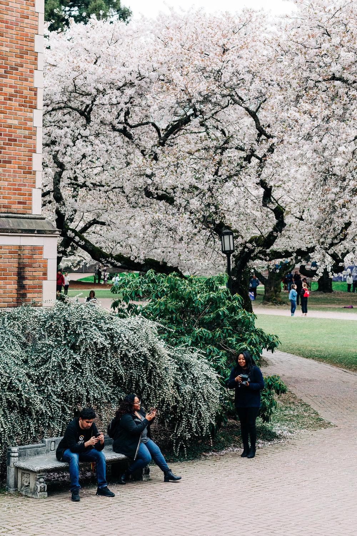 UW-Cherry-Blossom-5.jpg