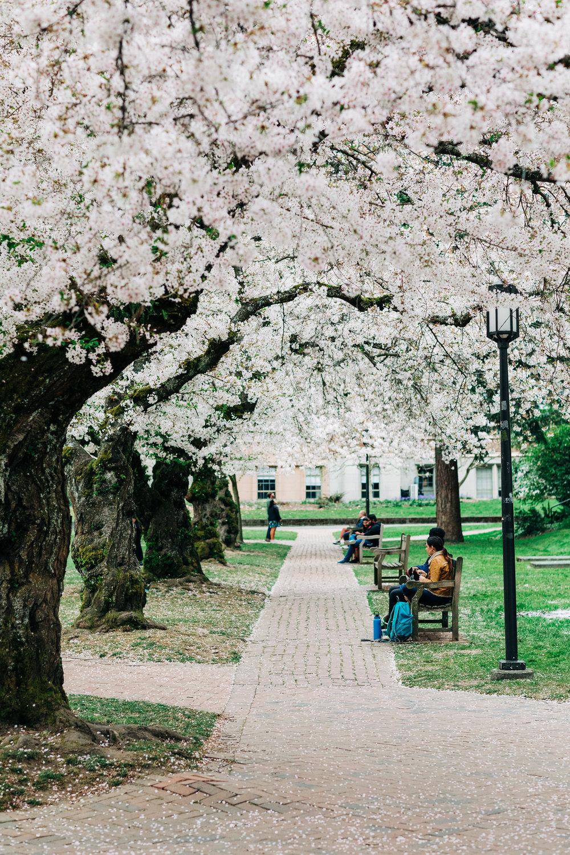 UW-Cherry-Blossom-7.jpg