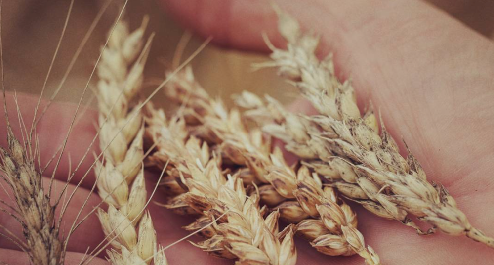 Grain Catalogue - We are building a catalogue of interesting grain crops grown in the UK either from 2018 harvest or planned crops for 2019. This is not a shop, just a showcase to help connect interested parties.