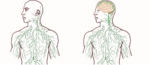 Figure 15 Lymphatic (Left) / Glymphatic with Lymphatic System (Right)   Image Courtesy of University of Virginia School of Health