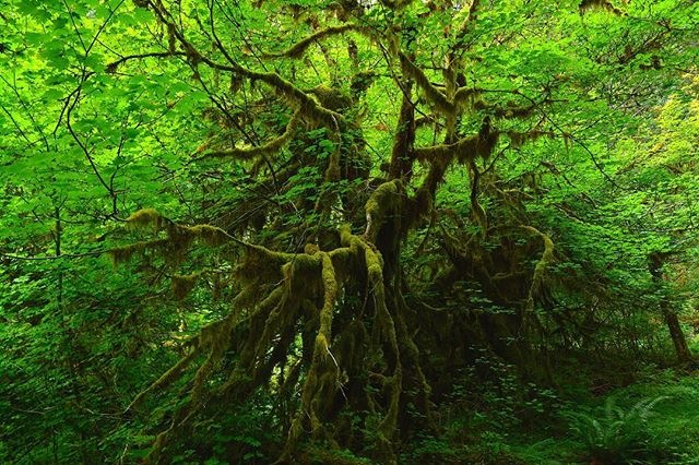 Things were lookin' awful green that day in the Hoh Rainforest. 🍃 🌳 🍃 #olympic #nationalpark #roadtrip #audiodrama #fiction #podcast #travel #roadtripradio