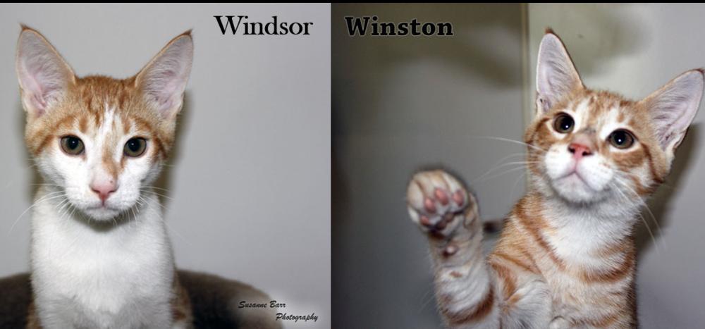 Windsor_Winston.png