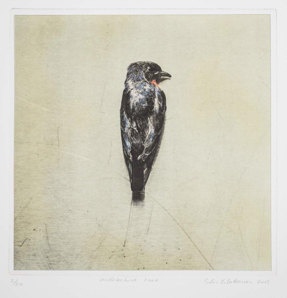 Mistletoebird Back