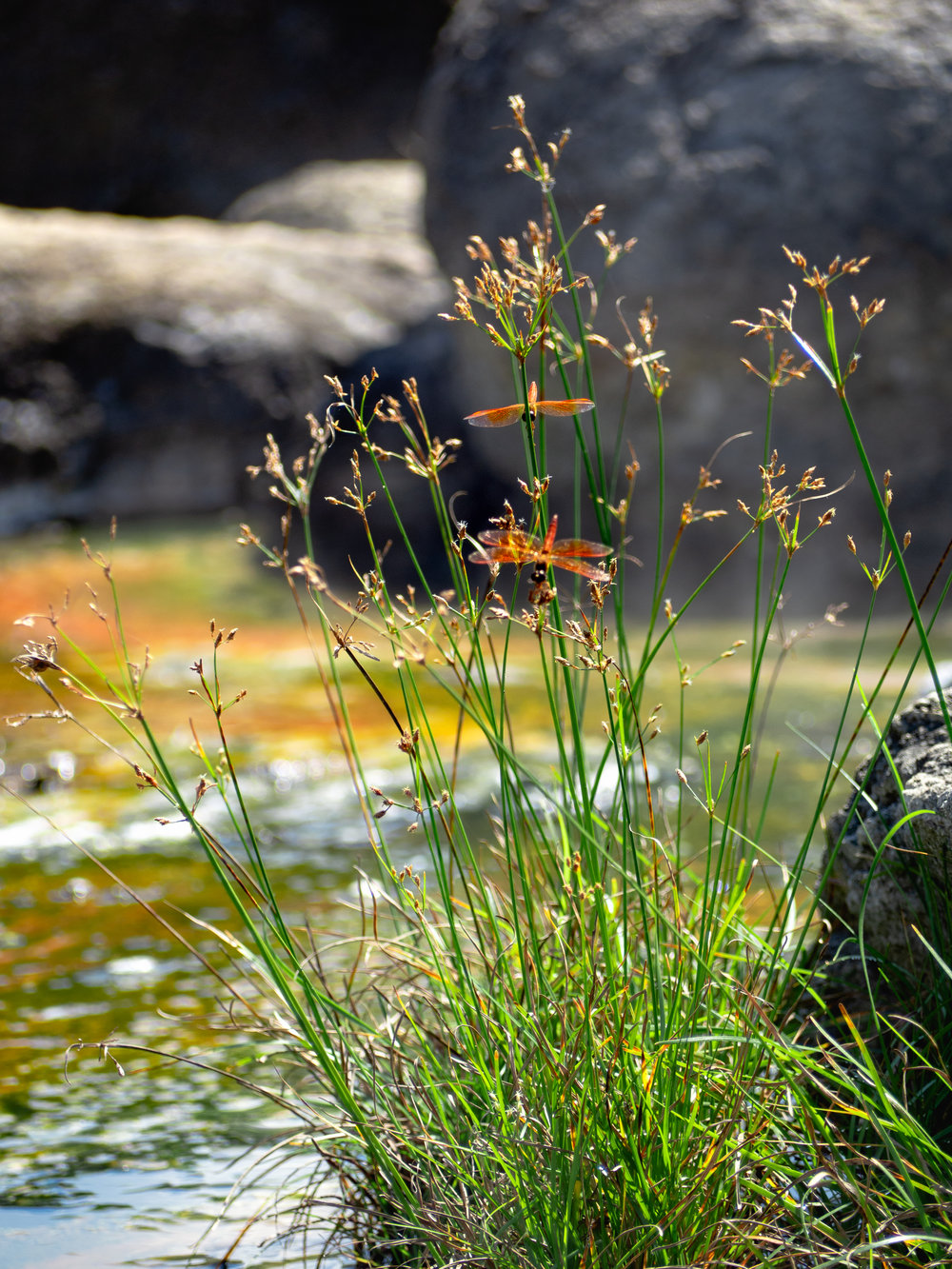 Dragonflies fill the air at Fan Hot Springs. Sit back and enjoy.