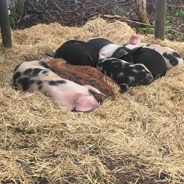 The piglets have arrived! #smallholding #permaculture  #groupaccomodation #airbnb #evolvingfarm #farmlife #visitscotland #visitabdn #piglets