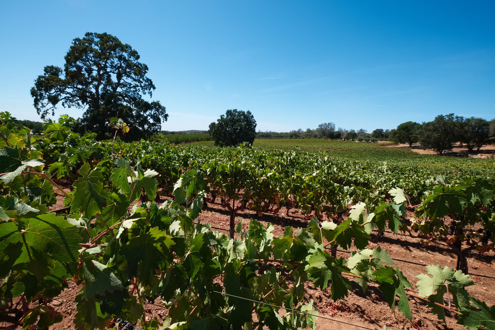 amador_bray-vineyards_2015-09-05_2.jpg