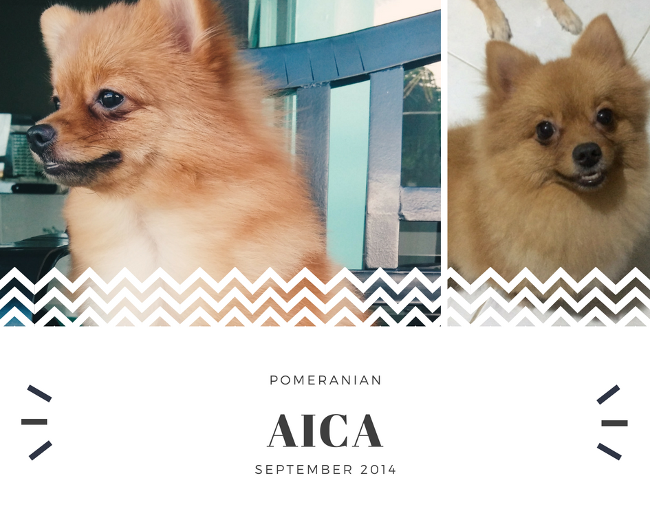 Aica is the runt in the litter. I thought that she's going to die so I gave her most of my attention until she got better. That's when I fell in love with her and decided to keep her. -