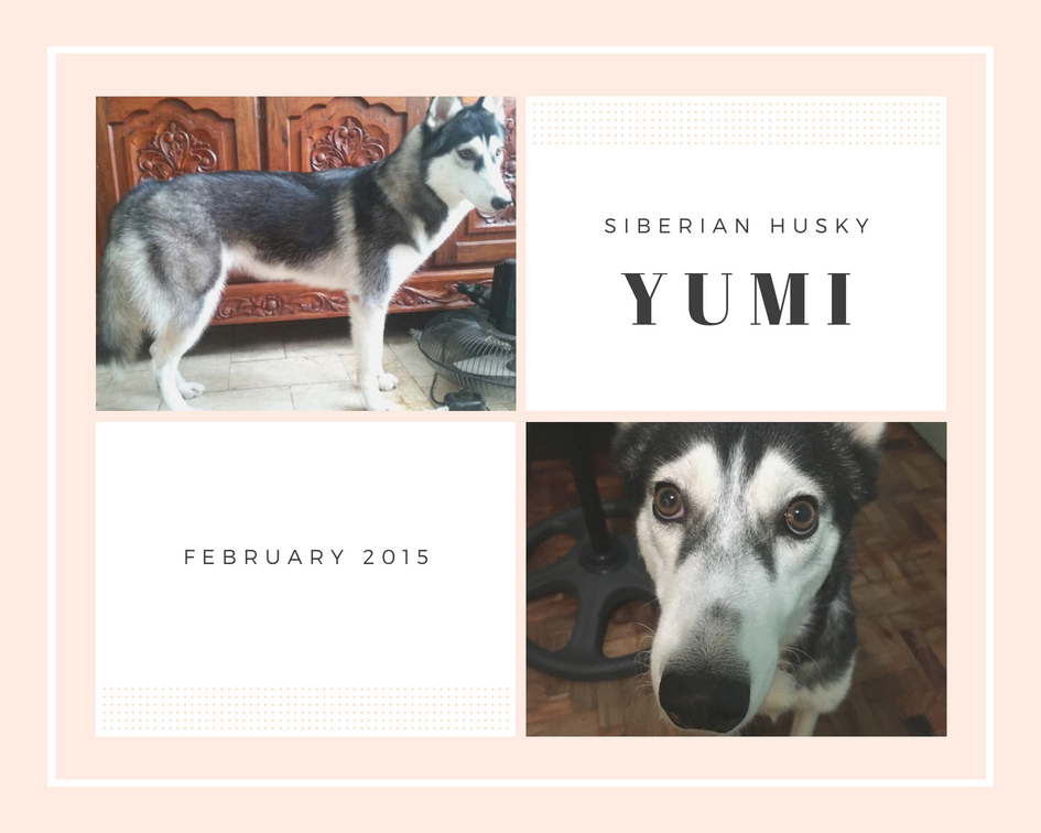 She's the youngest in the family. Yumi loves to hug people. She's very affectionate and would lie still beside you quietly. When she wants to cuddle with you, she'll look like the one in the photo. Look at her eyes! 💖 -