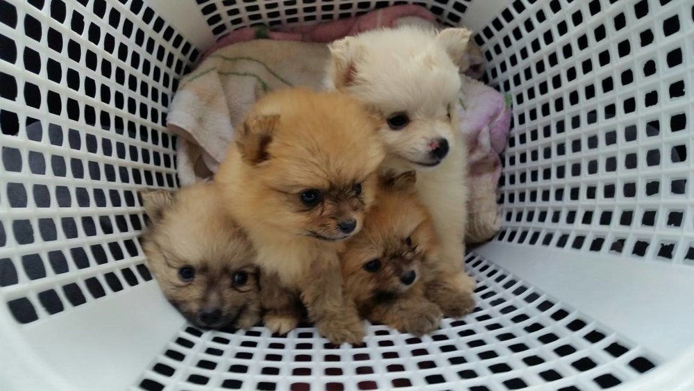 Aren't they the cutest? I cannot keep all of them, unfortunately, so I sold the three other puppies. I decided to keep the runt in the litter.