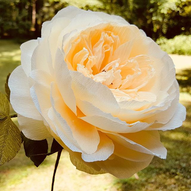David Austin rose from fine crepe paper. Lots of petals to shape but very satisfying. 😳 ~~~~~~~~~ #crepepaperflowers #davidaustinroses #paperrose #liagriffith  #rosemillecrepes #paperflowers #creativedharma