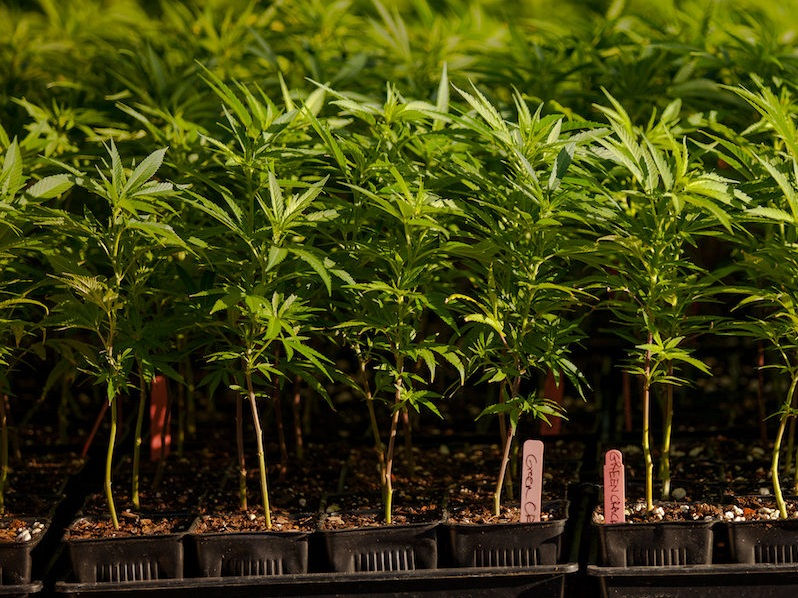 Plant Humboldt Cannabis Nursery - Plant Humboldt is a licensed cannabis nursery in Humboldt County, California. We provide sun-grown, garden-ready plants from both seed and cuttings. 6070 Briceland Thorn Rd.