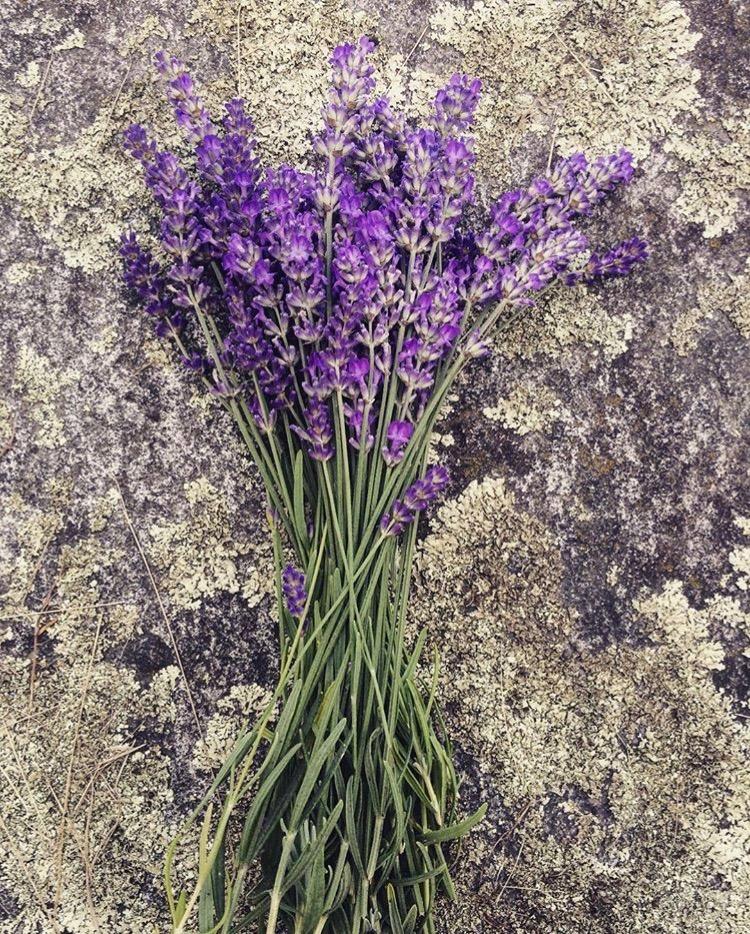 Wilson-Herb-Farm-lavender.jpg