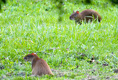 AGOUTIS - Related to Guinea Pigs and Rabbits, agoutis are very common at Sweet Songs and in the Garden.