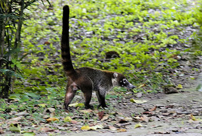 COATIMUNDI - This long-nosed raccoon-like coatimundi or
