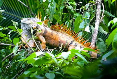 GREEN IGUANA - Iguanas are green when young. As adults the females turn grey and the males orange. Look for them high in the trees.