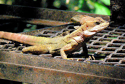 BASILISK LIZARD - Known as the