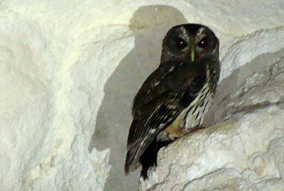 PYGMY OWL - This photo was taken at Flour Camp Cave. Listen for their call early in the morning at the lodge.