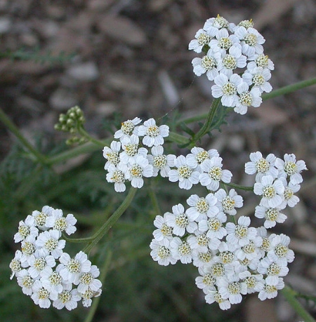 Mature Yarrow Flowers ( Source ) are flat topped and arranged in composite clusters.