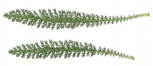 Mature Yarrow leaves (EOL.com) are multi-pinnate and grow alternately.