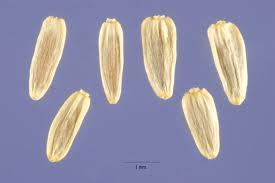 Yarrow Seeds