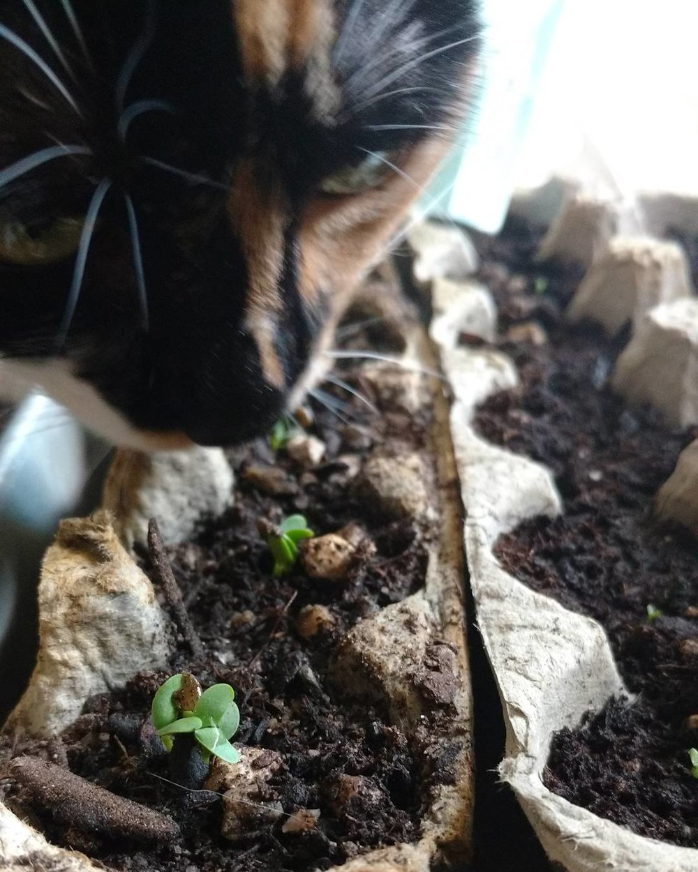 Hemlock sniffs out her favorite herb babies