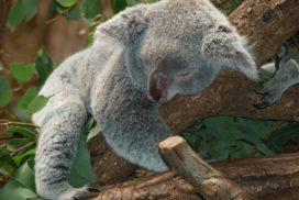 sleep-koala-bear-9960_960_720-272x182.jpg