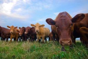 pastured-cows-300x200.jpg