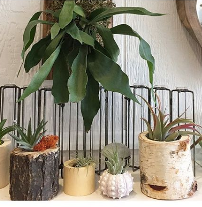 Air plants are a fan favorite! They're easy to take care of or place inside of a terrarium. To take care of these plants you just need to soak them weekly. They look so cute in wood holders like these.