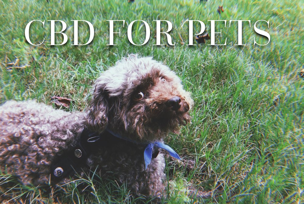 miniature poodle, rescue dogs, adopt don't shop, epilepsy, CBD for pets, CBD for epilepsy, natural remedies, holistic remedies, home remedies, holistic medicine