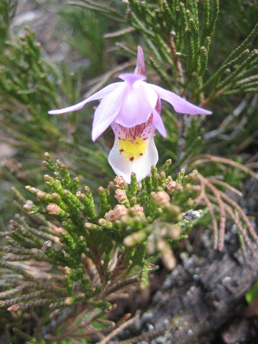 Calypso-Orchid.jpg