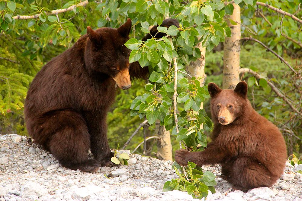 Jasper Hikes and Tours, Wildlife and Hike Package. Bear cub, Jasper, Alberta.