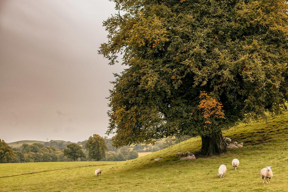Friday:  Sheep in the rain, Spark Bridge