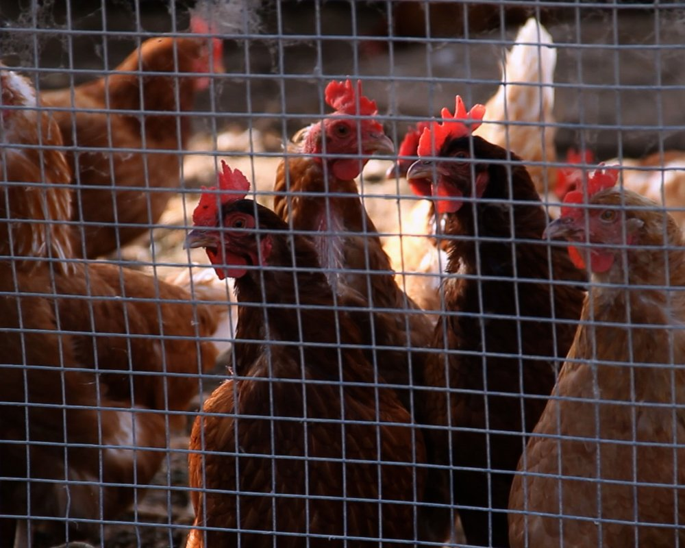 Bugs on the Menu 07 - Chickens take over six times the land space as crickets, to raise the same amount of protein.jpg