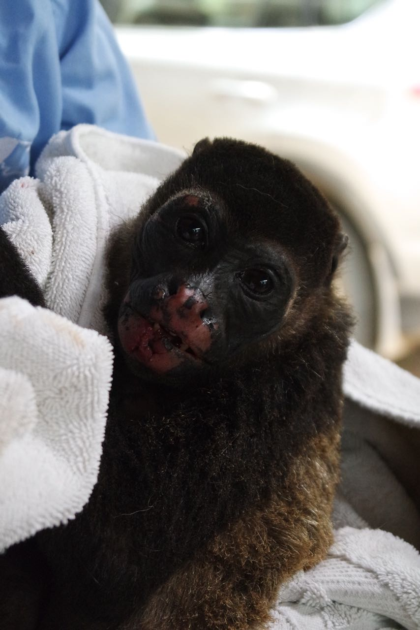 Zelda the howler monkey ( Alouatta palliata ) was severely shocked on the power lines in May 2018. Over 40% of her body was burned, all her hair was singed, and she temporarily lost function in the lower half of her tail. Her road to recovery has been a long one, but she's improving and healing by the day!