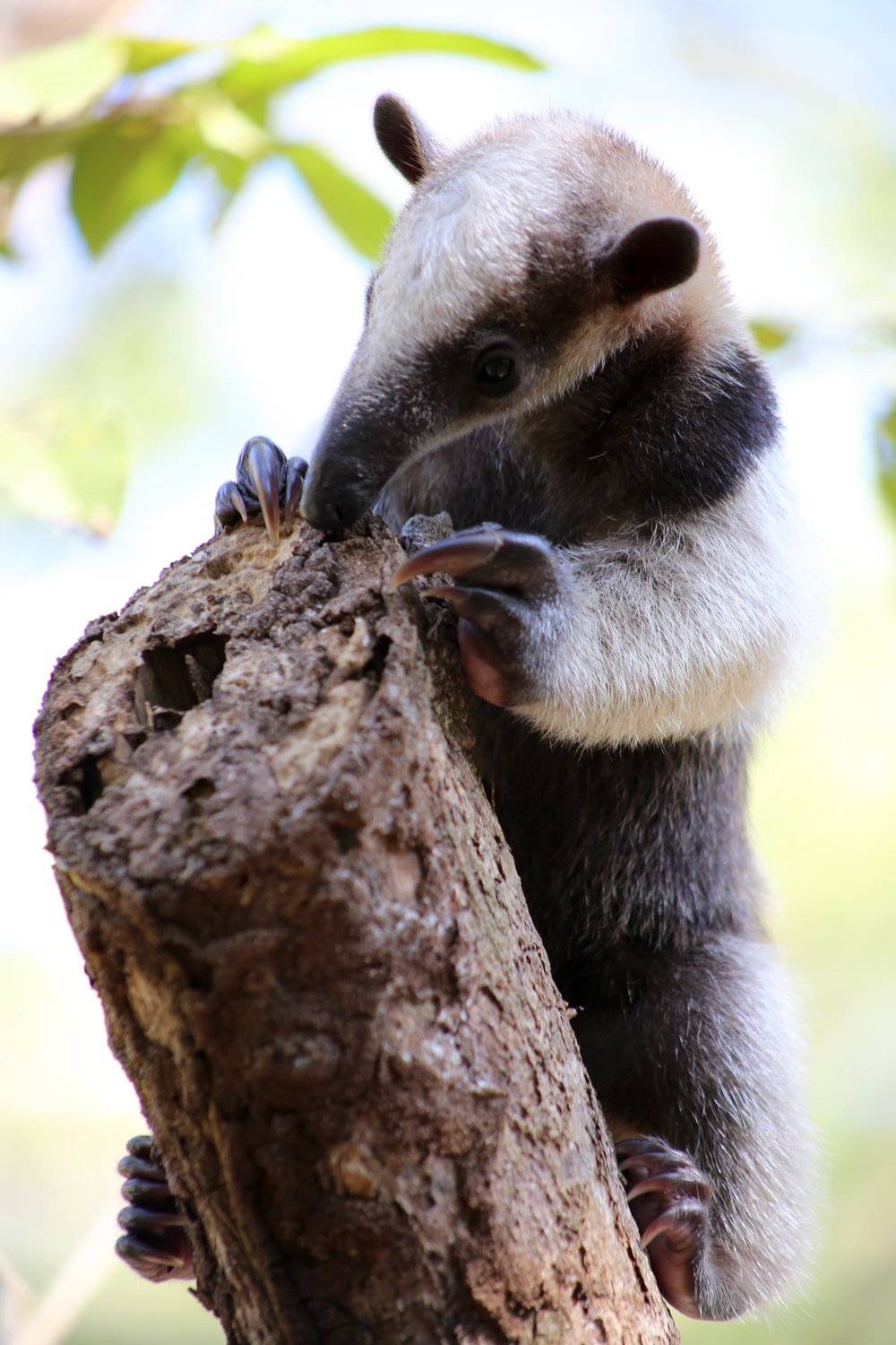 Anteater close up eating.jpg