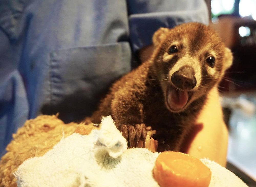 Baby Coati.jpg