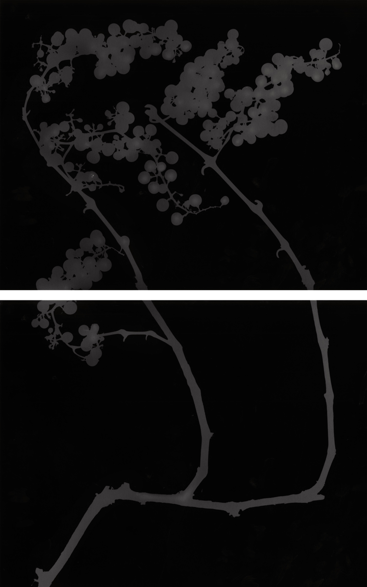 14. Untitled diptych (dark #1). 2015. Photogram.