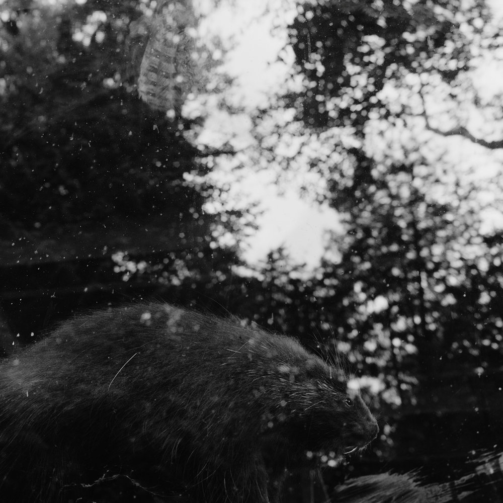 3. Beaver and Window Reflections, Adirondack Loj, NY. 1999. Toned Gelatin Silver Print.