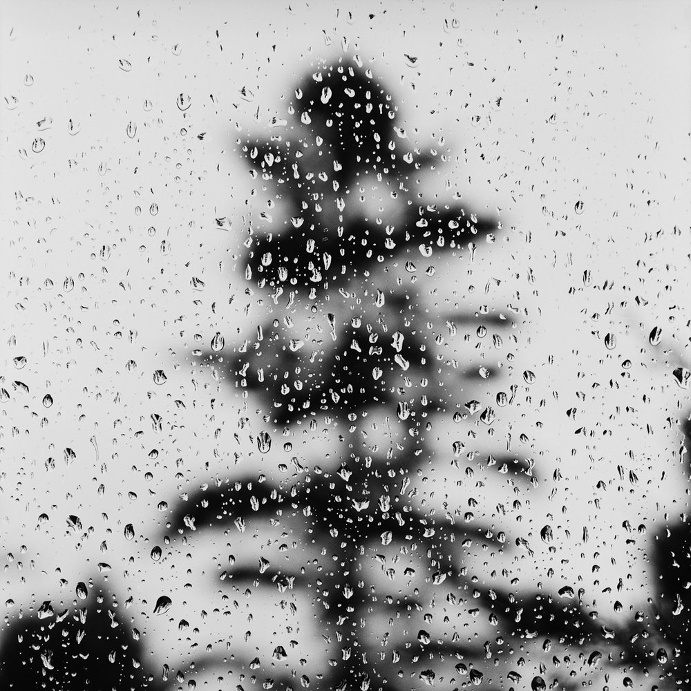 28. Raindrops and White Pine Tree, Valcour, NY. 1999. Toned Gelatin Silver Print.