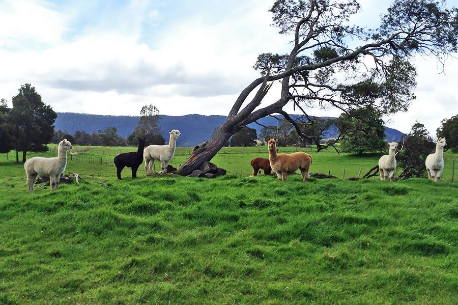 Alpacas-copy.jpg