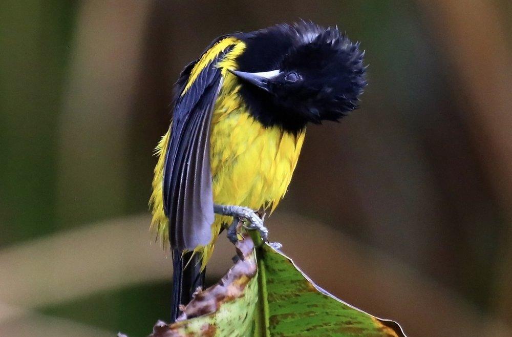 0338-YellowandblackbirdBest.jpg