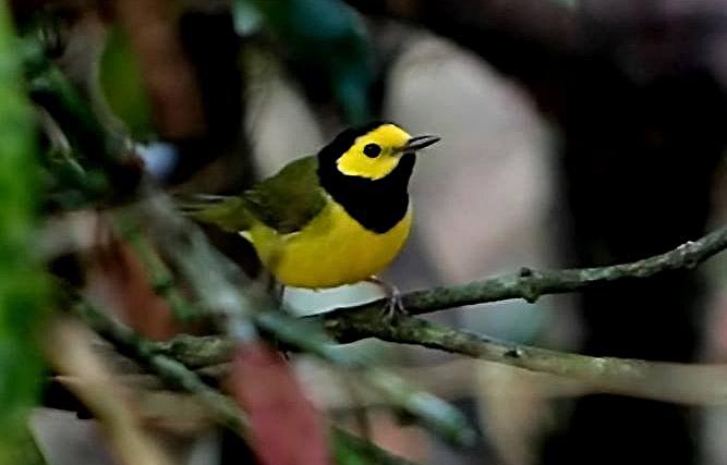 0675-yellow bird.jpg